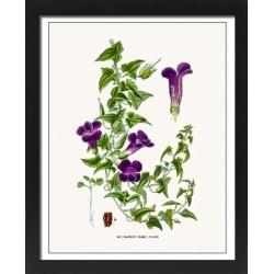 Large Framed Photo. Maurandya flower